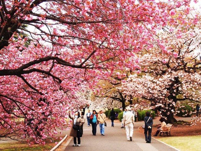 Nhật Bản nổi tiếng với các loài hoa và lễ hội truyền thống