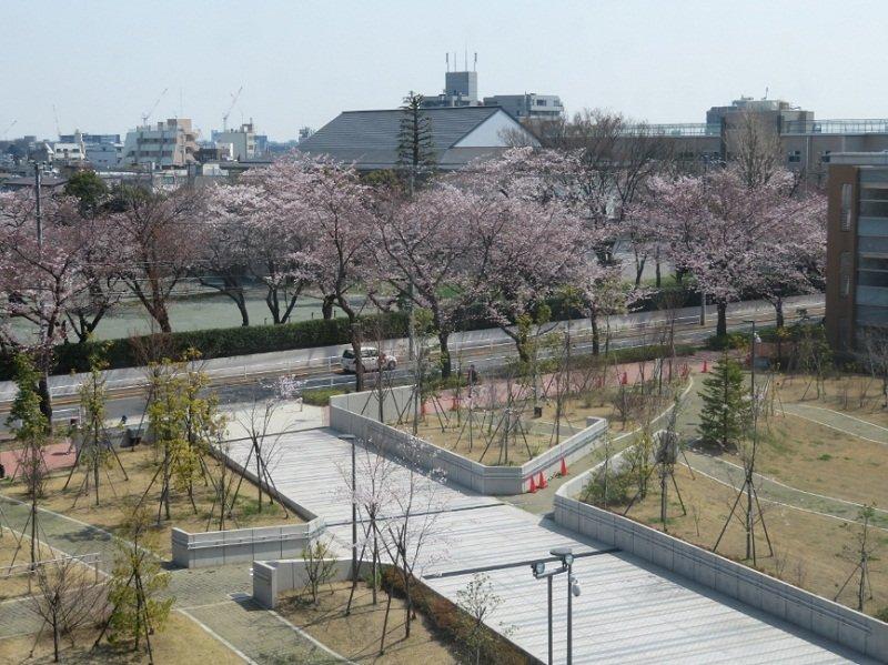 Đại học Teikyo mỗi dịp hoa anh đào nở